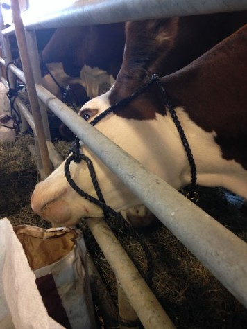 Annabelle of Jackson Hollow Farm was attempting to get more food out of the feed bag that was strategically placed out of her reach. Silly cow!