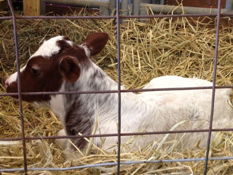 Gordy, a baby Milking Shorthorn, was just born on September 16th, 2014. The owner's said that they must keep her enclosed because she often feels the need to wander around and stretch her legs.